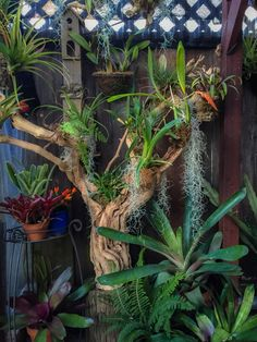 Mounted orchids, tillandsias and bromeliads Pruning Orchids, Orchids Garden, Orchid Plants, Cool Plants, Air Plants, Indoor Plants, Tropical Garden, Tropical Plants, Driftwood Planters