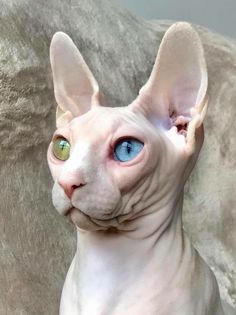 sphynx cat I think this cat has some mystical powers I Love Cats, Crazy Cats, Cool Cats, Beautiful Cats, Animals Beautiful, Baby Animals, Cute Animals, Cat Anatomy, Animal Gato