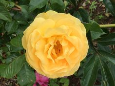 Yellow roses stand for friendship ! This is from my garden July 2014