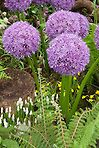 Allium Globe Master ornamental onion with white grape hyacinth bulbs, fern, tiny Narcissus daffodil species, in spring bloom, different types of bulbs planted together, with varying shapes and sizes