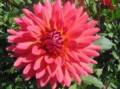 Ferncliff Gardens - View Flower Firemagic