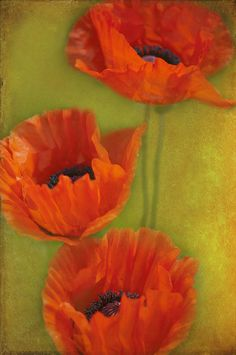 Three poppies Photograph by Carolyn Dalessandro - Three poppies Fine Art Prints and Posters for Sale