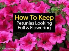 Petunia Care: How To Grow and Keep Petunia Flowers Blooming Petunias provide a lot of color. They can be stunning plants with a little work. Here is an instructional video (about minutes) on keeping your Petunias lush and Flowering… A piece of advice… Petunia Care, Petunia Plant, Petunia Flower, Petunia Tattoo, Growing Flowers, Planting Flowers, Flower Gardening, Organic Gardening, Vegetable Gardening