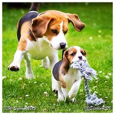 Some Beagle bonding! ❤ Congrats to @diablorsv & thanks for posting!