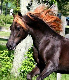Black chestnut Morgan