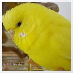 Schwarzauge Gelb - aus der Rubrik Wellensittich Farbschläge von www.sittiche.de Parrot, Birds, Animals, Pets, Yellow, Budgies, Colors, Parrot Bird, Animaux