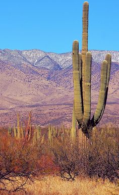 cactus and snowy hills in the desert, northern Sonora, Mexico