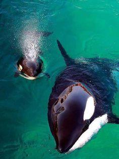 Mamãe orca e filhote.