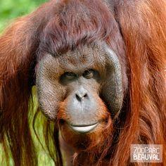 #Orang-outan au ZooParc de Beauval