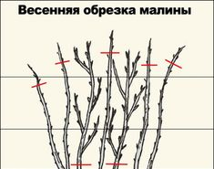 Малина. Посадка, выращивание и уход | Строительный портал
