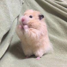 Pretty Animals, Cute Little Animals, Cute Funny Animals, Hamster Pics, Funny Hamsters, Cute Baby Cats, Kawaii, Fluffy Animals, Cute Memes