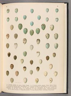 Bd.3 (1900) - Naturgeschichte der Vögel Mitteleuropas. - Biodiversity Heritage Library