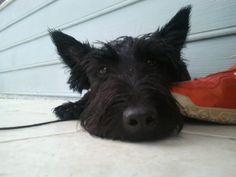 Meet Henry.  I love   Scotties. So much personality.