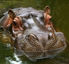 Interesting facts about common hippos