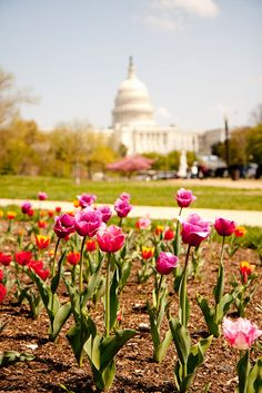 Tulips outside the Capitol, Washington D.C. --- they were so beautiful and caught my eye all day today!