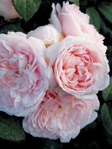 English rose - Eglantyne - Angela Lansbury's character's name in Bedknobs & Broomsticks...now I get it!!@
