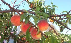 Der Pfirsichbaum ist mit seinen rosafarbenen Blüten ein Augenschmauß im Garten. Was Sie beim Pfirsichbaum schneiden beachten sollten, lesen Sie hier