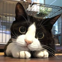 7 Most Beautiful Cats In The World Cute Funny Animals, Cute Baby Animals, Animals And Pets, Cute Dogs, Funny Cats, Pretty Cats, Beautiful Cats, Animals Beautiful, Cute Cats And Kittens