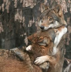 wolf love: one of the only creatures on the planet to mate for life Wolf Love, Bad Wolf, Animals And Pets, Funny Animals, Cute Animals, Wild Animals, Animal Memes, Baby Animals, Wolf Pictures