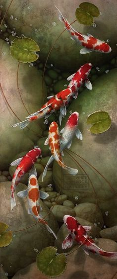 Koi keeping is quickly becoming a very popular hobby in America. Koi are beautiful, vibrant fish that can literally light your day. Koi come in many colors, Betta, Art Asiatique, Beautiful Fish, Tier Fotos, Fish Art, Koi Art, Fish Fish, Ocean Life, Marine Life