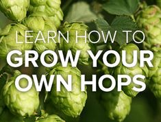 People catch the homebrew bug because it offers them the chance to create something unique (and uniquely their own). Hop Rhizomes, Hops Vine, Hops Plant, Growing Grapes, Dehydrator Recipes, Organic Matter, Home Brewing, Beer Brewing, Grow Your Own