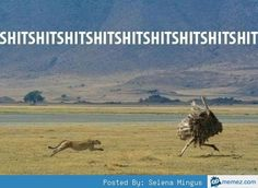 Cheetah chasing ostrich... lol. Funny, this is us you skinny ostrich looking bitch