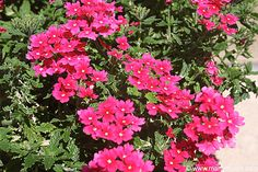 Verbina flowers Fast growing, does extremely well in the hot, dry heat of the desert Southwest. Grows quickly and spreads well. Great in containers and hanging baskets. Comes in a variety of colors. Verbina and lantana are our most recomended flowering plants for the Southwest garden.