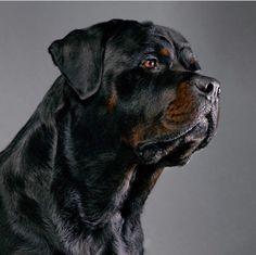 Rottweiler Dog Breed, German Rottweiler, Beautiful Dogs, Animals Beautiful, Bulldog Puppies, Dogs And Puppies, Rottweiler Pictures, Real Dog, Big Dogs