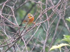 野鳥、ソウシチョウ. red-billed leiothrix. 24 July 2016.