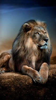 Lions in Love Wallpaper Big Cats Animals Wallpapers) – Wallpapers Lion Images, Lion Pictures, Animal Pictures, Wild Animal Wallpaper, Lion Wallpaper, Beautiful Lion, Animals Beautiful, Animals And Pets, Cute Animals