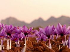 Saffron flower fields in Kashmir