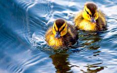 Dwie, Kaczki, Woda