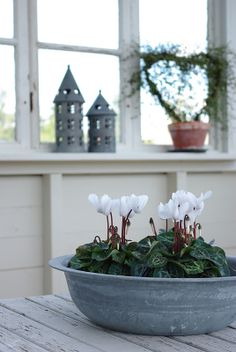 Cyclamen are such beautiful flowers to have blooming at Christmas. Mine bloom all year 'round.