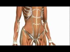 Anatomy Of Abdominal Wall 01 | 3D anatomy tutorial on the muscles of the abdominal wall. This tutorial is in two parts. This first part covers the muscles of the anterior abdominal wall. Check out part 2 for the muscles of the posterior abdominal wall.
