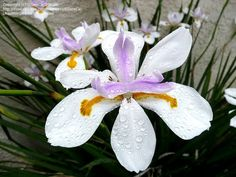 Bloom of the day for July 15, 2013: Wild Iris (Dietes iridioides) Photo by ElToroCa