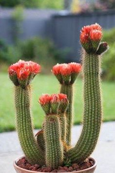 Echinopsis huascha 'Red torch cactus'