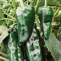 Pepper Hot Poblano Ancho Great Heirloom Vegetable 30 Seeds by seed kingdom. $0.67. Heirloom vegetable. Days Until Harvest: 76. A large, mildly hot pepper with a bit of sweetness. 30 Seeds. Capsicum annuum. 76 Days. Among the most popular chiles in Mexico. A large, mildly hot pepper with a bit of sweetness - for soups rellenos, salsa, stuffings, or chili powder.
