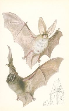 Long-eared Bat, Vintage Book Plate, 1978, Small Mammals Natural History Print (59), Frameable Art