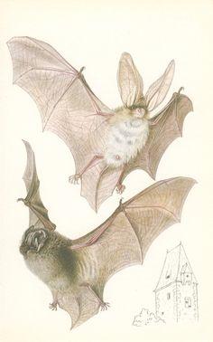 Long-eared Bat, Vintage Book Plate, 1978, Small Mammals Natural History Print (59), Frameable Art