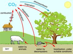 The carbon cycle best and most simple explanation c2 wk 4 diagram showing carbon cycle during the day ccuart Images