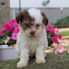 42 Best Puppymania Images Bichon Frise Cocker Spaniel Cute Dogs