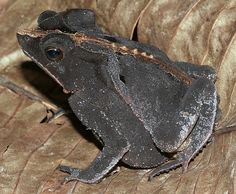 Crested Forest Toad (Bufo margaritifer) Found in the Peruvian Amazon.