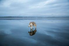 huskies-siberie-lac-photographie-fox-grom-7
