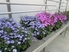 Senetti, Pericallis are new this year at Aspen Greenhouses. Greenhouses, Family Business, Aspen, Retail, Spring, Plants, Pictures, Green Houses, Photos