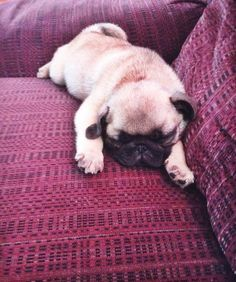 Sleepy tiny pug puppies always slay me!