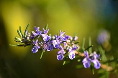 Rosemary is a perennial herb with evergreen needle-shaped leaves and colored flowers (pink, white, purple). It is a fragrant herb that is native to the Mediterranean region.