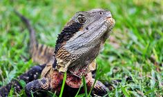 PROUD EASTERN WATER DRAGON - Prints & Greeting Cards available at:  http://kaye-menner.artistwebsites.com/featured/proud-eastern-water-dragon-kaye-menner.html  -