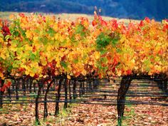 Autumn Colours in a Vineyard, Napa Valley, United States of America Photographic Print by Jerry Alexander Napa Valley, Valley Vineyards, All I Ever Wanted, Wine Country, Oh The Places You'll Go, Beautiful Places, Around The Worlds, The Unit, Nature