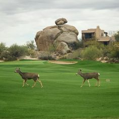 Tee Time for Two on the Boulders South golf course?  These deer seem to think so