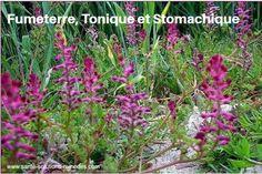 Fumeterre, Plante Tonique Stomachique